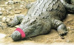 Velcro Croc snout shut